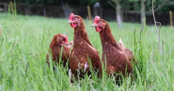 Happy ex-bat hens