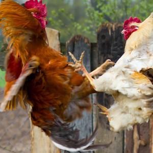 Hens fighting