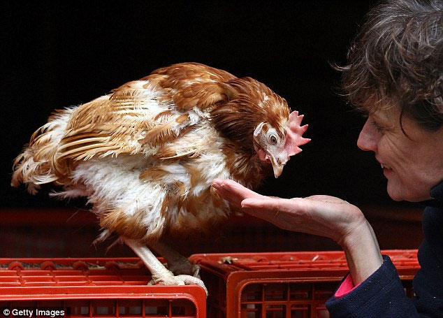 Liberty, the last battery hen in the UK