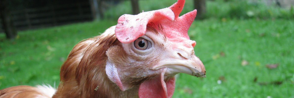 Debeaking Or Beak T Both Sound Pretty Unpleasant Terms But What S It All About Why Is So Controversial And Being Done To Ensure Hen