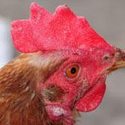 Hen's comb