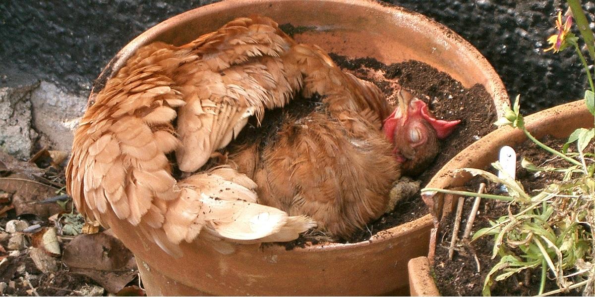 dust-bathing-happy-hen-diatomaceous-earth