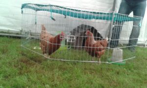 A few of our lovely hens at the show.