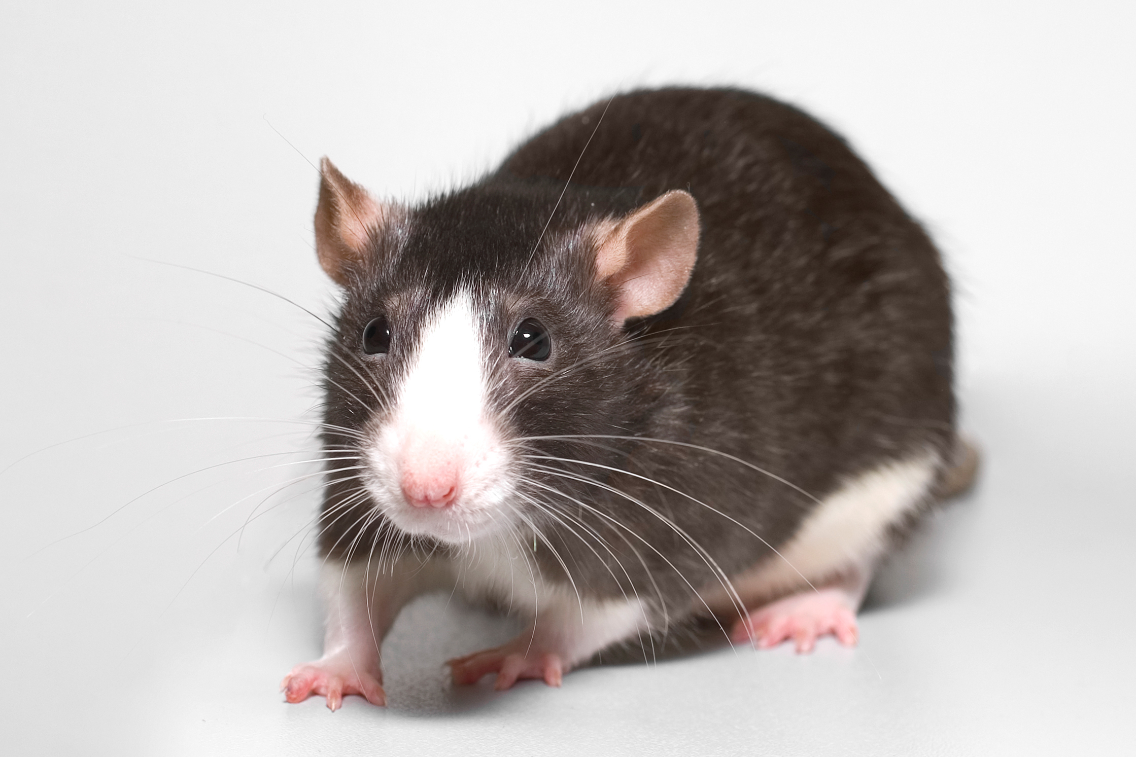 Feeding and keeping the rat at home