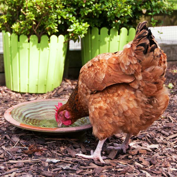 hen drinking water from a plate with medicine in it