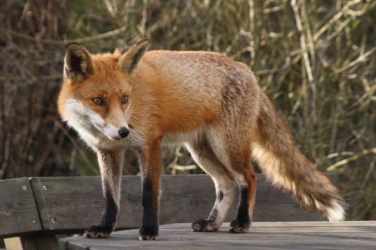 Fox-Attack