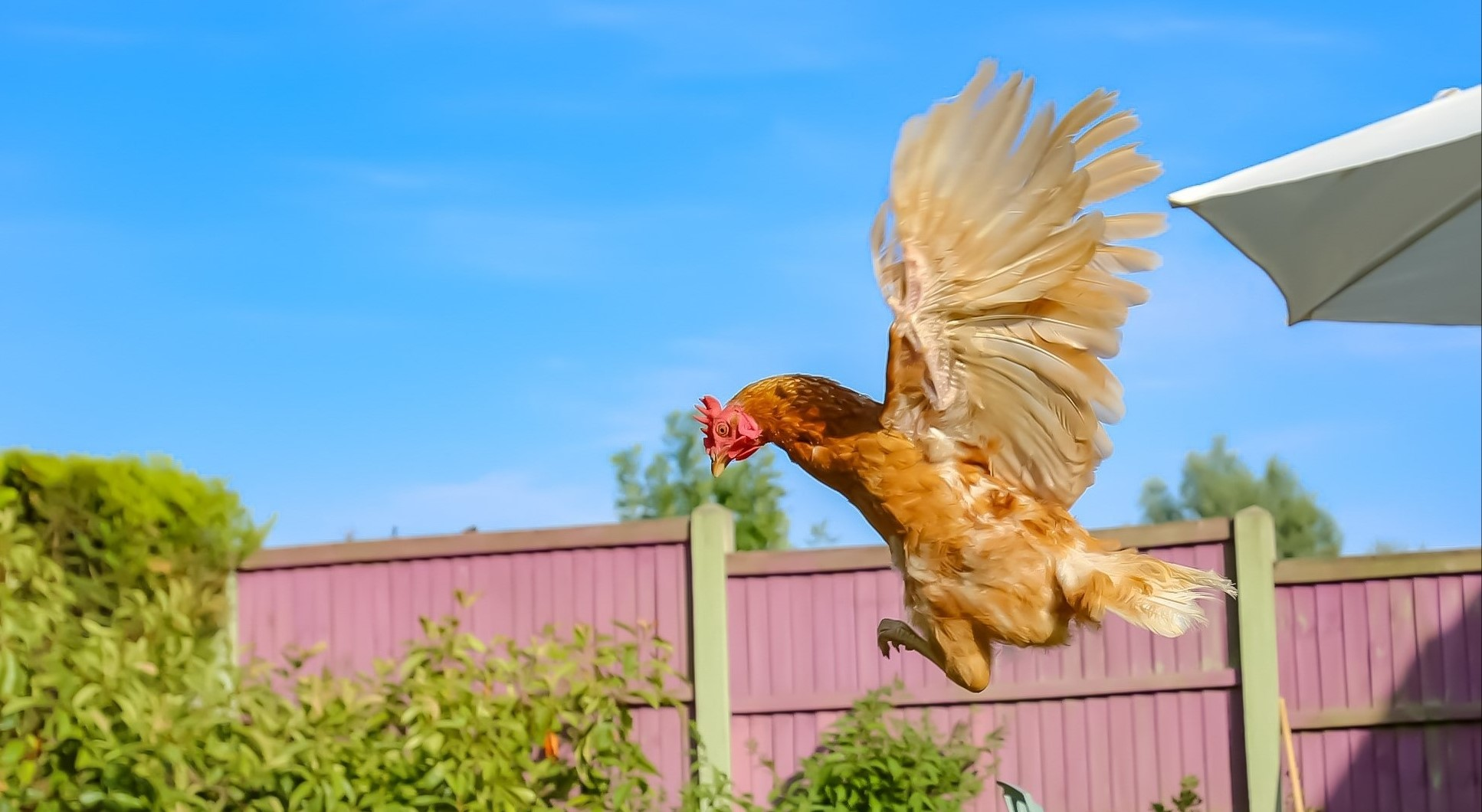 Primrose taking flight - our Hen of the Month winner for September 2018