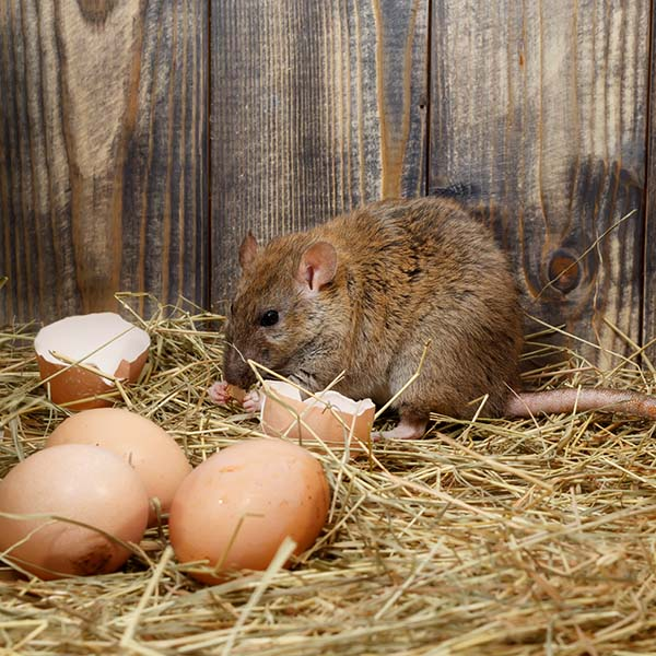 rats in the hen house