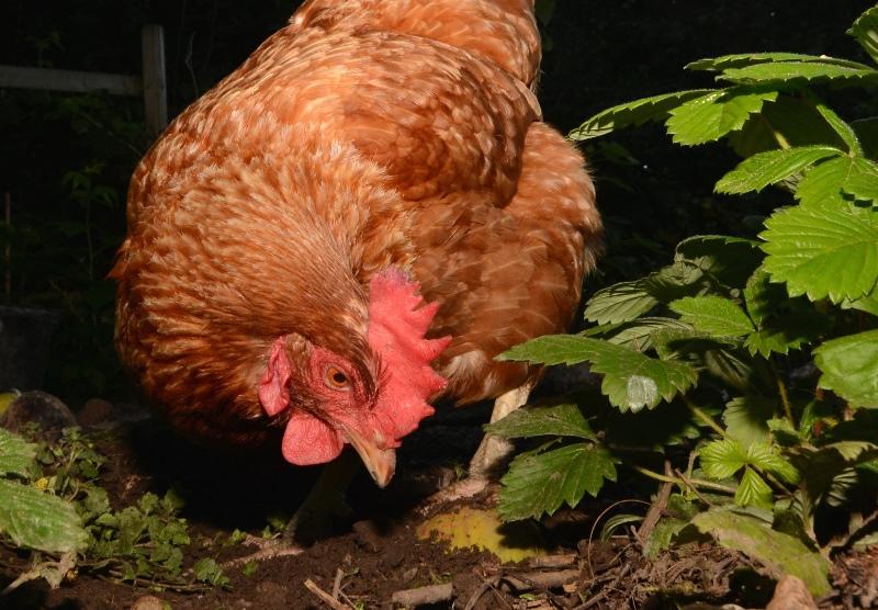 Glenda, our Hen of the Month winner for February 2019