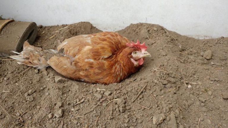 hen dust bathing