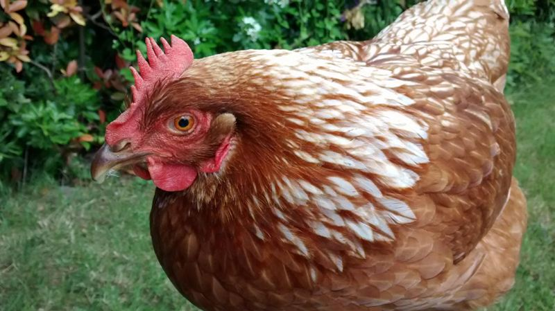 hens have ears