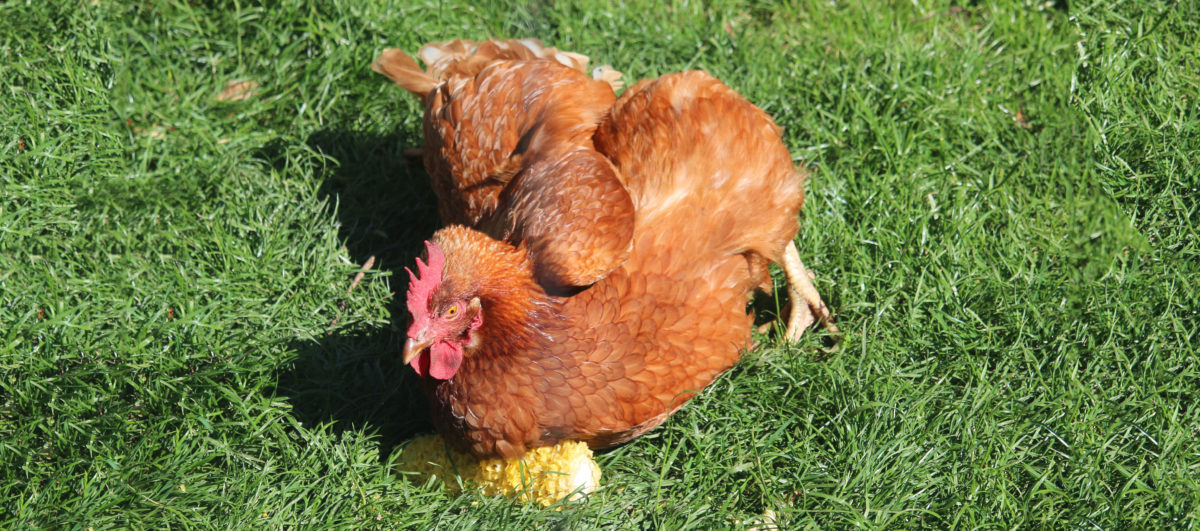 Demelza, our Hen of the Month winner for August 2019