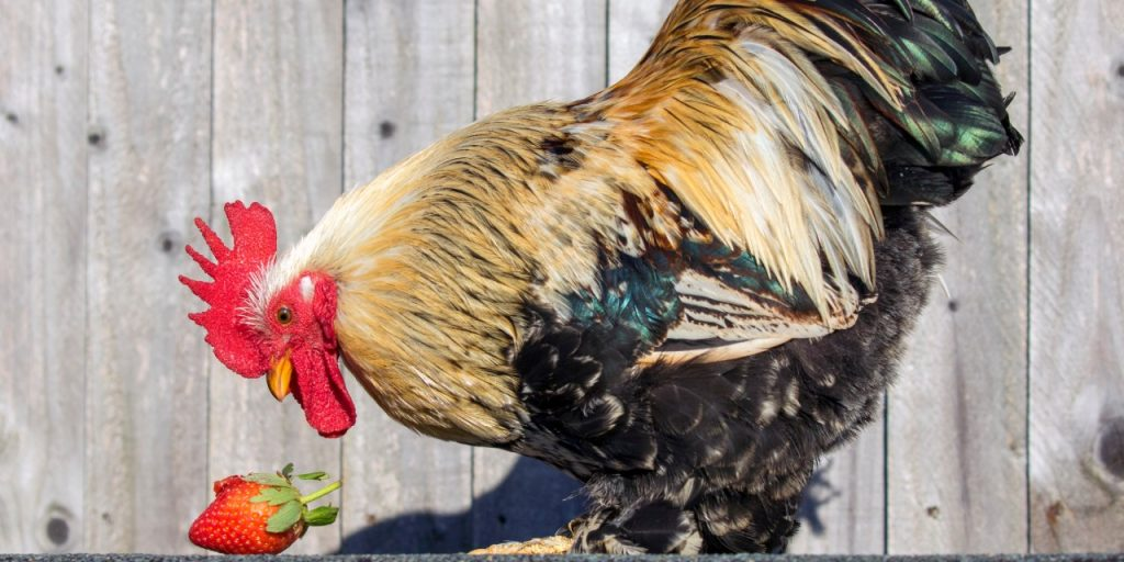 Russell the cockerel