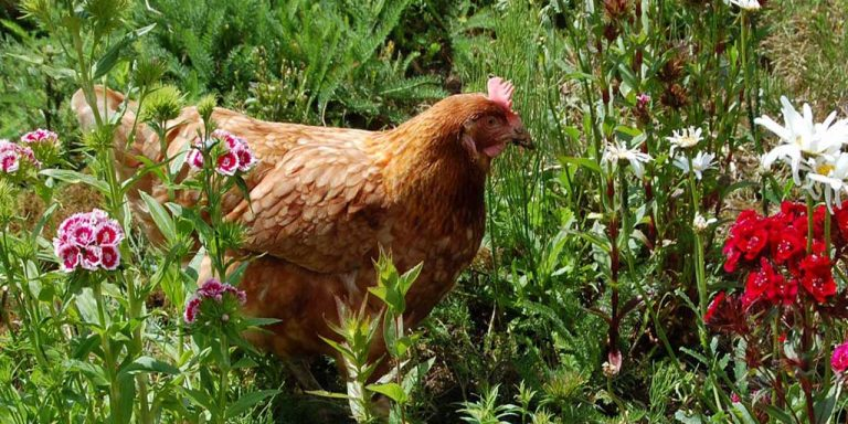 Back to nature? How natural remedies can help your hens