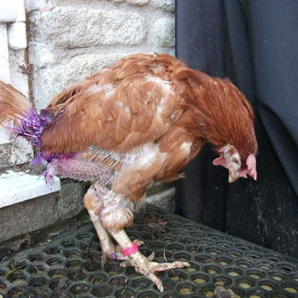 Figure 1: Hen sprayed with coloured antiseptic