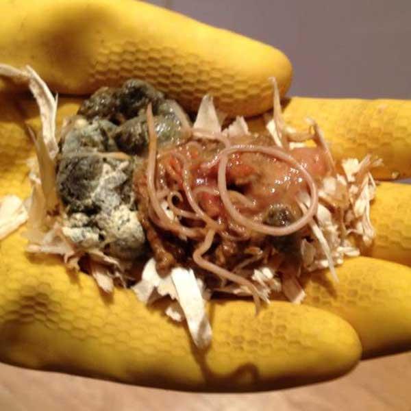 Figure 1: Roundworm