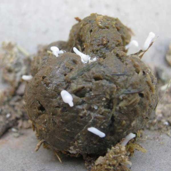 Figure 2: Tapeworm