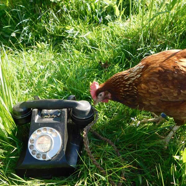 Hen Helpline
