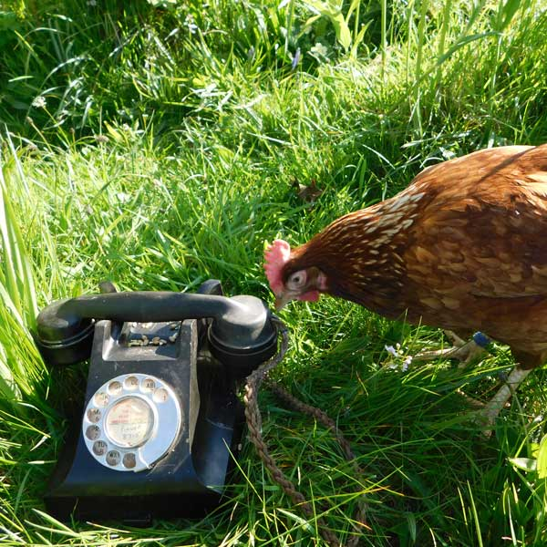 Hen with phone