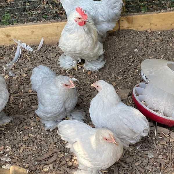 Bantam cockerels