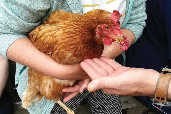 Gro-Organic Hen With Raspberry