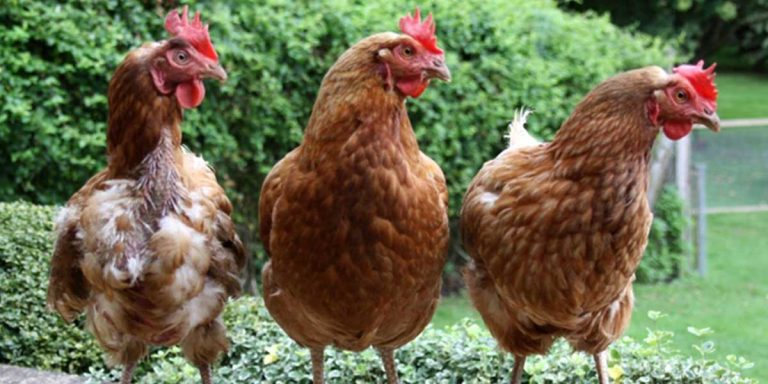 Hen Rehoming August 2020