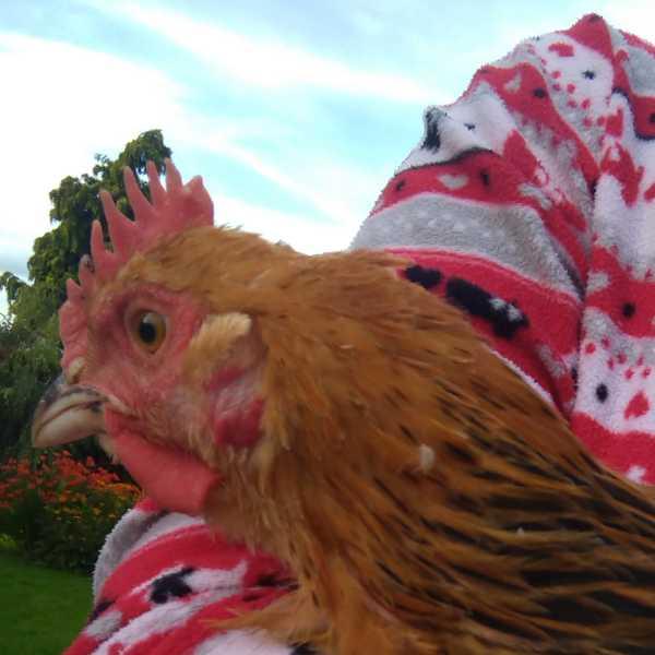 Light Sussex cockerel