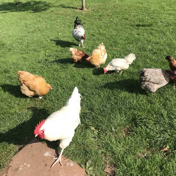 Cross Breed Cockerels