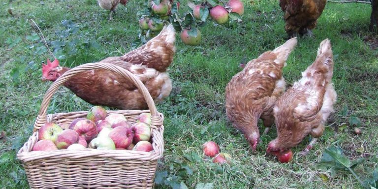 Hens With Apples