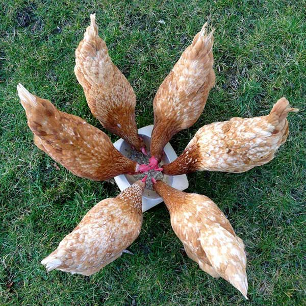 Hens Eating a Treat