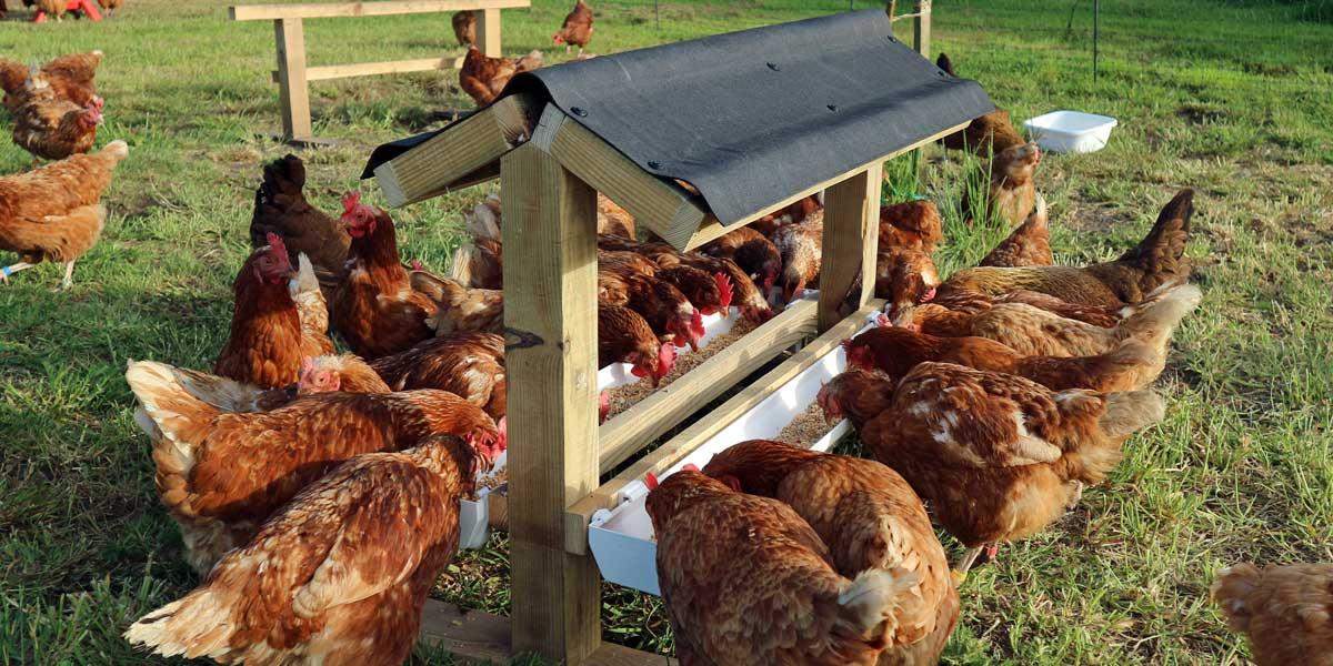 Hens at Feeder