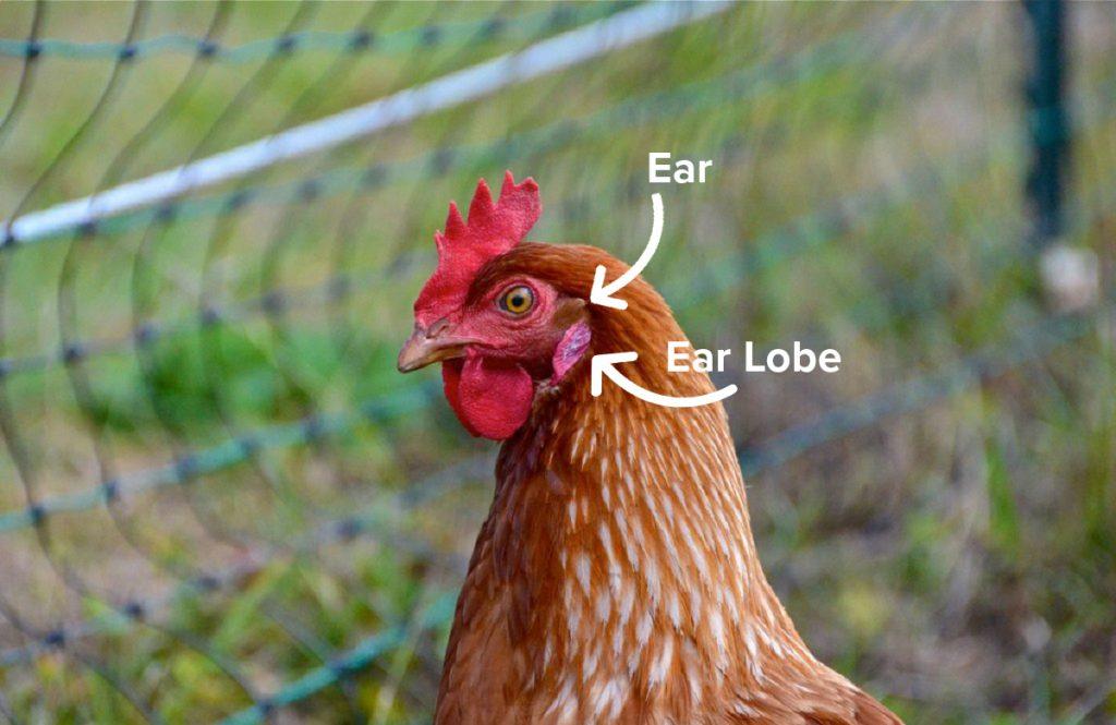 hen anatomy of the ear