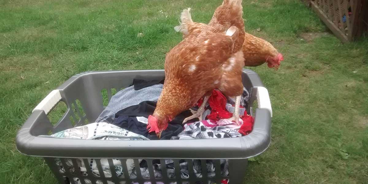 Hens in Washing Basket