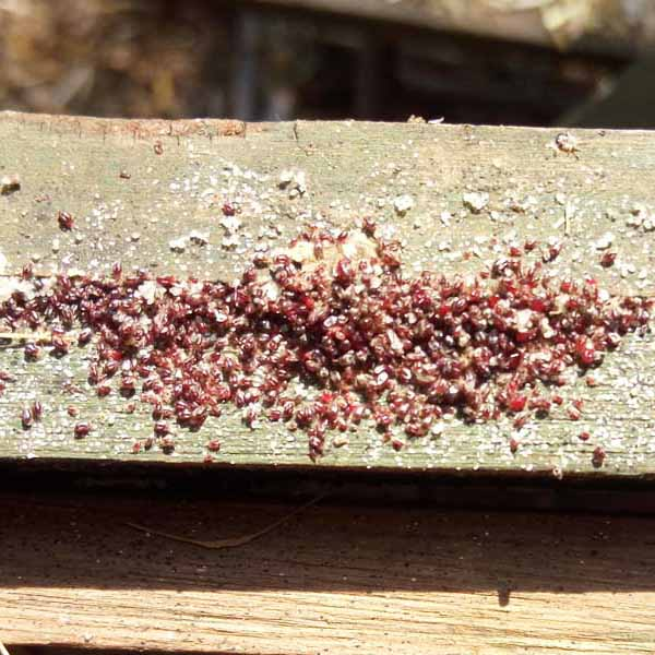 Red Mite on Wood