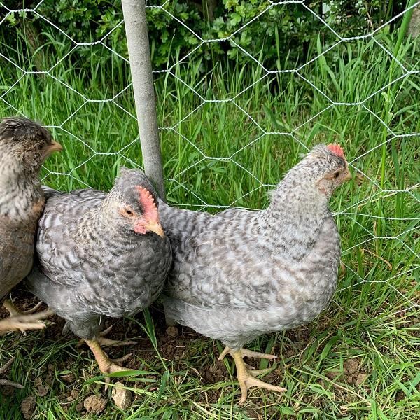 hybrid-cockerels