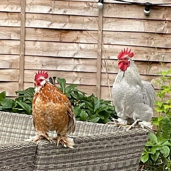 pure-breed-cockerel