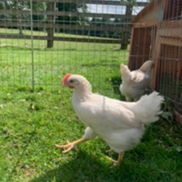 Hybrid Cockerels